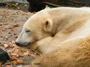 Photo: Knut hat die Baerenruhe weg ;-)