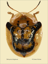 Photo: Deloyola fuliginosa, 5,5mm, Costa Rica, La Cruz (11°07´/-83°36´), leg. Erwin Holzer, det. Lech Borowiec