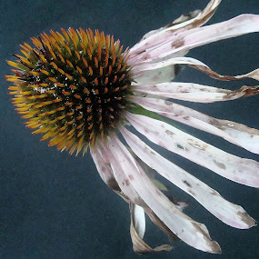 Beautiful And Dying by Caitlin Scroggins - Nature Up Close Flowers - 2011-2013 (  nature,  flower,  pink, dying )