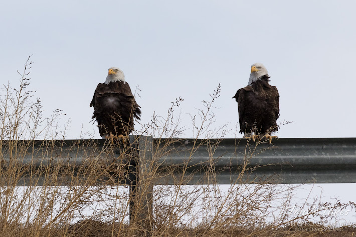 A pair of mated Bald Eagles hangs out on a guard rail north of Denver, Colorado. (© Tony's Takes)