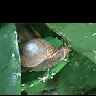 Caracol/ Snail