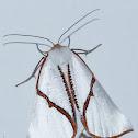 Orange-rimmed Satin Moth