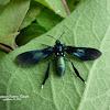 Southern Cyan Tiger Moth