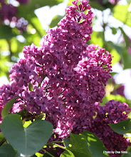 Photo: (Year 2) Day 332 - Lilac in Friday Harbor