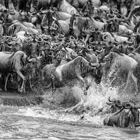 Wildebeast crossing by Ken Dyball - Animals Other ( river crossing gnu wildebeest masai mara kenya )