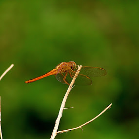 CAPUNG by Rizal Marsa - Animals Insects & Spiders (  )