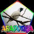 CANTO DA ARAPONGA (Procnias nudicollis) apk