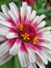 Photo: A lovely pink, white, and yellow flower at Wegerzyn Gardens in Dayton, Ohio.