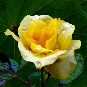 Yellow Rose by Anupam De - Nature Up Close Flowers - 2011-2013