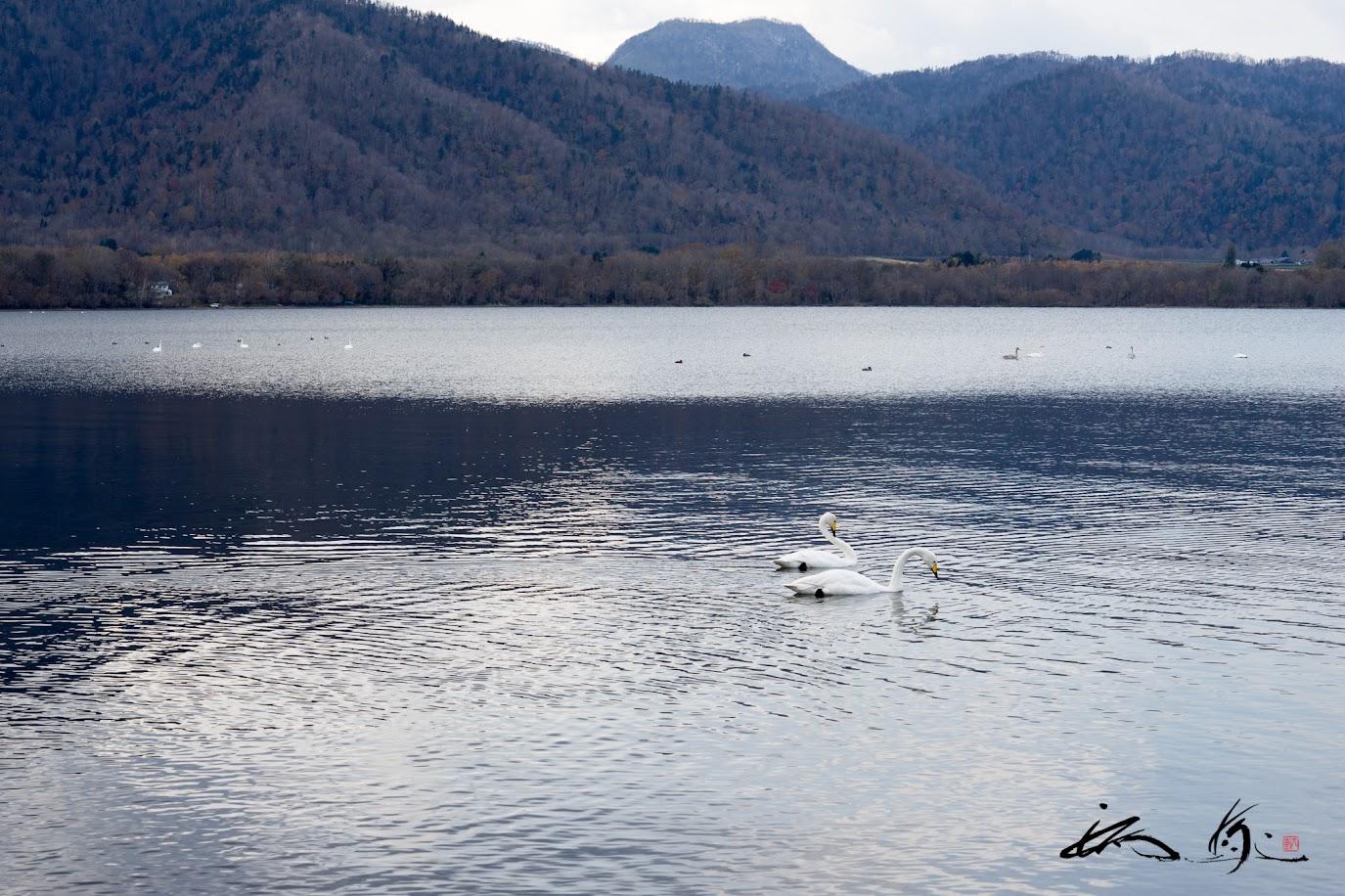 羽を休める白鳥たち