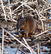 Photo: One of MANY muskrats