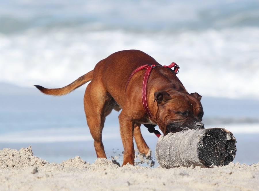 I can & I will !! by Maz Tissink - Animals - Dogs Playing ( playing, beach, dog )