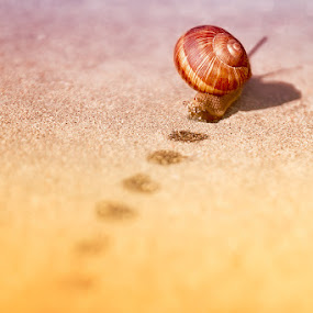 Forward! by Andrei Kisliak - Artistic Objects Other Objects ( shell, speed, track, wildlife, crawl, road, step by step, close, nature, forward, sunny, helix, path, wet, slow, positive, move, step )