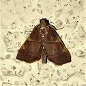 Yellow-fringed Dolichomia