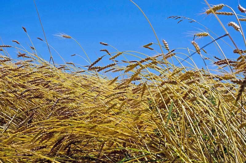 il grano è vita.... di Giuseppe Loviglio