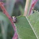 Beetle (?)