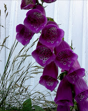Photo: Foxglove flower.