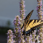 Eastern Tiger Swallowtail, male