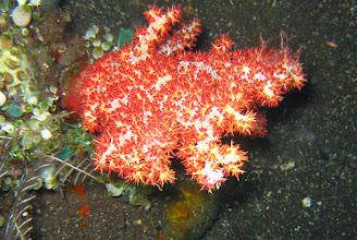 Photo: мягкий коралл дендронефтия