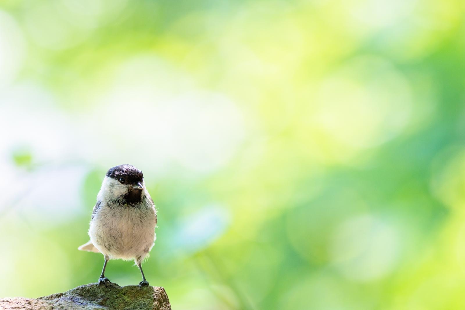 Photo: 「森の使者」 / Forest fairy.  きらりきらり 森に注がれる朝日 緑の光に包まれて 様子をうかがう 小さな小さな森の使者  Marsh Tit. (ハシブトガラ)  Nikon D7200 SIGMA 150-600mm F5-6.3 DG OS HSM Contemporary  #birdphotography #birds #kawaii #ことり #小鳥 #nikon #sigma  ( http://takafumiooshio.com/archives/2661 )