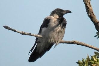 Photo: Hooded Crow