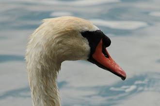 Photo: Cygne tuberculé (Réserve naturelle du Delta de la Sauer)