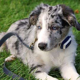 Aussie Shepherd by Ingrid Anderson-Riley - Animals - Dogs Puppies