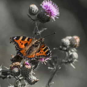Small Tortoiseshell by Doug Faraday-Reeves - Animals Insects & Spiders ( small tortoiseshell, butterfly, thistle )