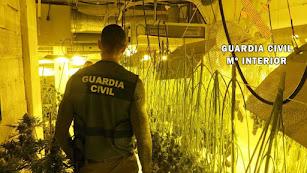 Plantación de marihuana descubierta por la Guardia Civil.