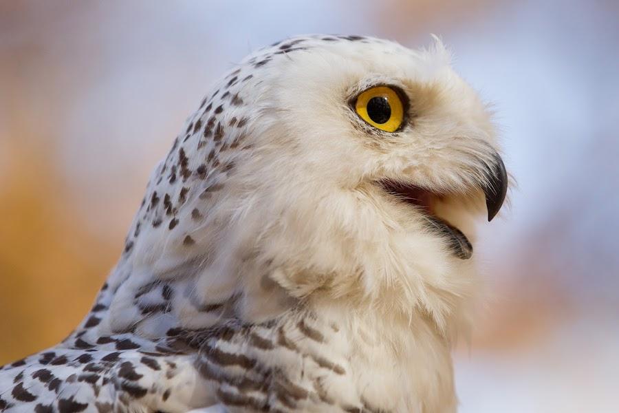 snowy owl by Mark  Postal - Animals Birds