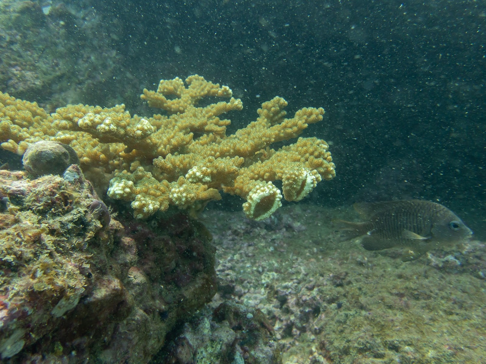 coral restoration in costa rica