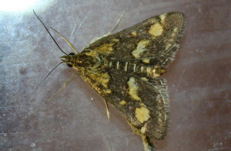 Photo: Pyrausta aurata  Lepidoptera > Crambidae