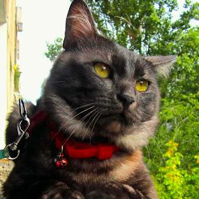 on the edge by Mihai Nita - Animals - Cats Portraits ( cat, tomcat, cat portrait, short-hair, portrait, feline's eyes,  )