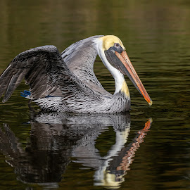 Brown Pelican by Don Young - Animals Birds ( brown pelican, reflection, nature, bird photography, pelican, birds, water,  )