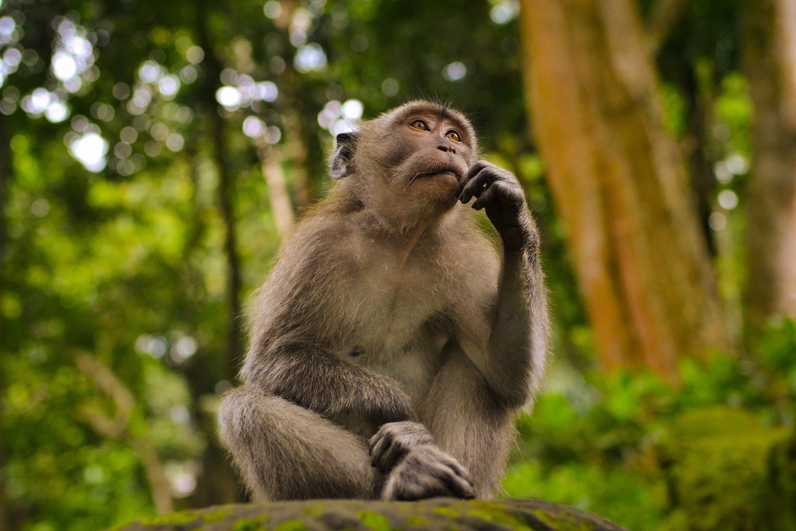 A monkey in the forest thinking with left hand on chin about our wants versus our needs.