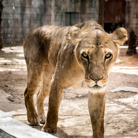 Curious by Erika Fisher - Animals Lions, Tigers & Big Cats ( big cats, emirates park zoo, zoo, lioness, abu dhabi )