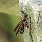 Leucospid wasp