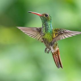 Rufous-Tailed Hummingbird by Phyllis Plotkin - Animals Birds ( bird, wild, rufous-tailed hummingbird, nature, hummingbird )