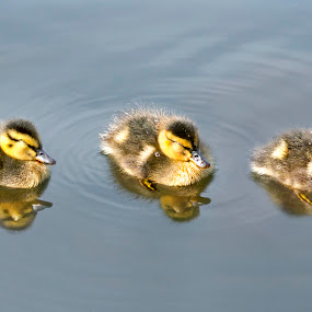 Three Little Sleepy Heads by Adrian Campfield - Animals Birds ( asleep, water, mallards, ducks, reflections, wildlife, yellow, feathers, rivers, birds, young, ducklings, nature, blue, wet, chicks,  )