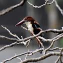 White-throated Kingfisher ( सेतोकण्ठे माटीकोरे )