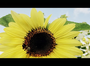 Photo: Cinemascope of a bee on a sunflower at Cox Arboretum and Gardens of Five River Metroparks in Dayton, Ohio.