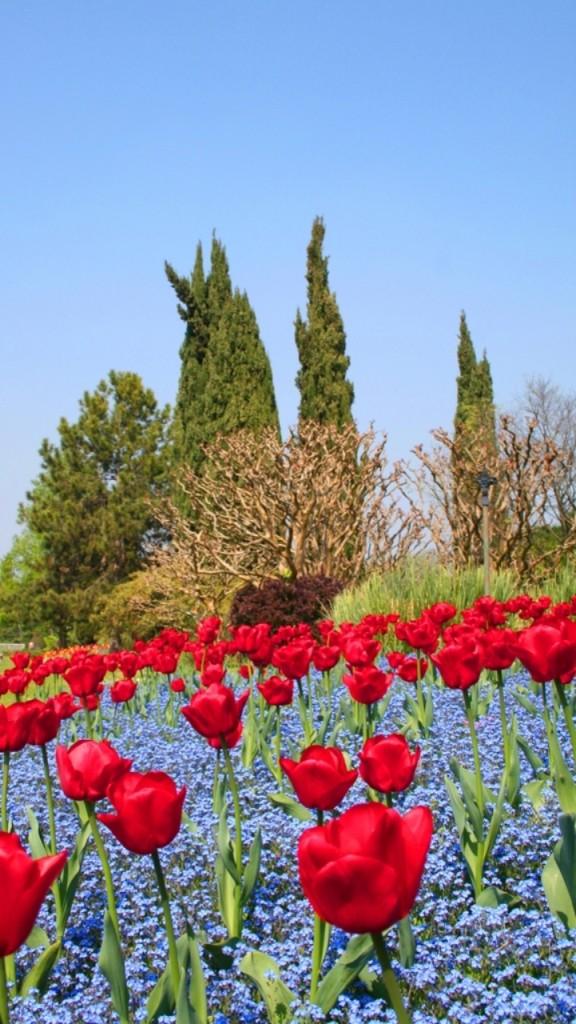 I Tulipani di Senia