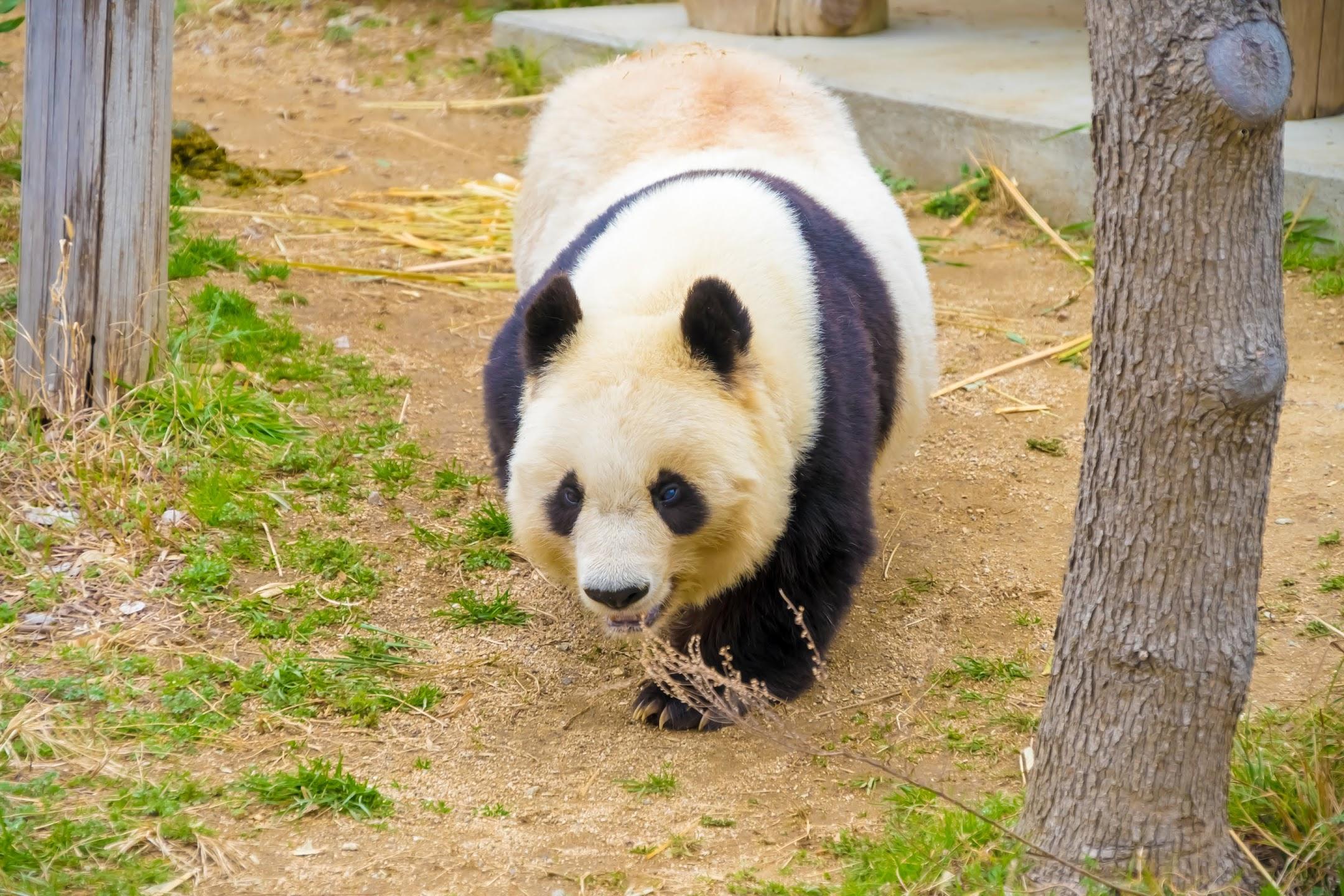 Kobe Oji Zoo giant panda2