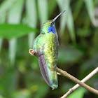 Green Violet-ear hummingbird