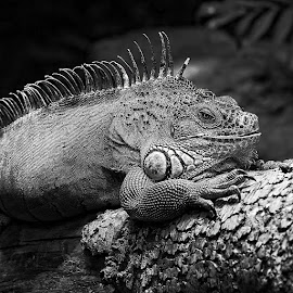 Iguana by Gérard CHATENET - Black & White Animals