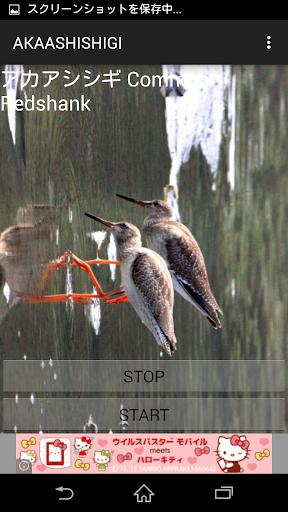 鳥の鳴き声アカアシシギ