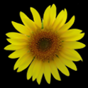 Sunflower LW Free + weather icon