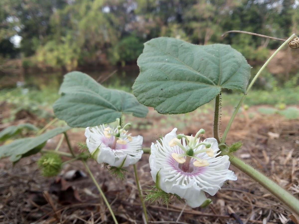 Fetid Passion Flower