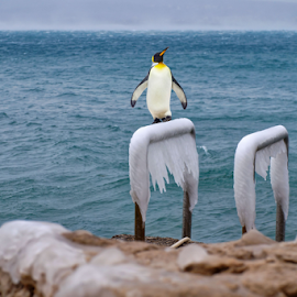 Penguin by Dalibor Jud - Digital Art Animals ( selce, adriatic, more, led, ice, digital art, jadransko, croatia, sea, penguin, iced, pingvin )