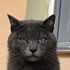 by Monica Dragomir - Animals - Cats Portraits (  )